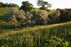 BB hawthorn hedge